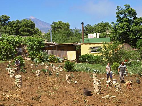 Potato Pickers at Aguamansa, Tenerife