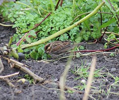 Little Bunting (1)