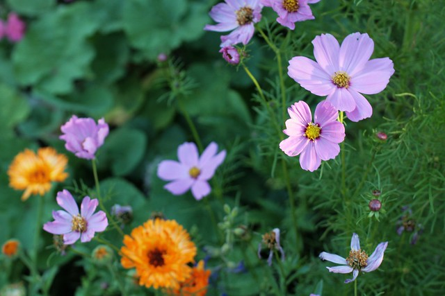 cosmos and calendula