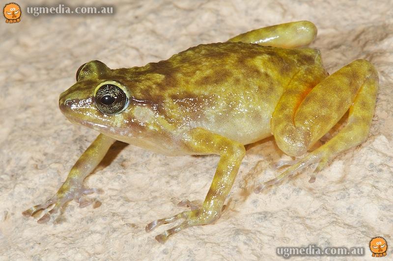 Black Mountain frog (Cophixalus saxatilis)