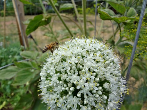 2012.06_bee and onion flower