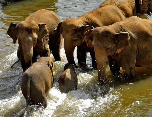 Elephants in the Water -  Pinnawala (by Queenie)