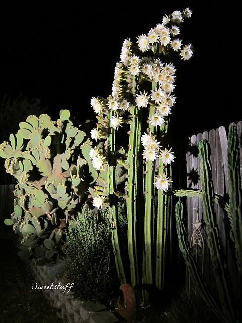 Trichocereus Pachonoi 'San Pedro' 2012