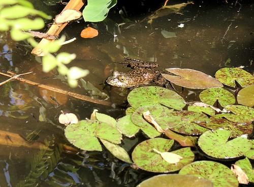 FrogFla