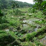 蘭嶼永興農場湧泉形成的豐富溼地。(圖片來源:邱郁文研究團隊)