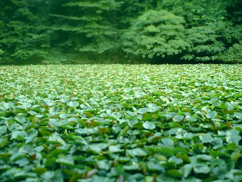 三宝寺池 スイレン