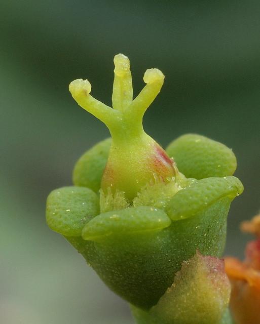 Euphorbia stellata - Scheinblte (Cyathien ) - weibliches Stadium