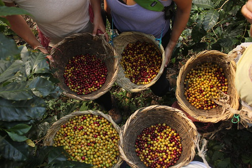 Harvested coffee in baskets. 2012 Delegation