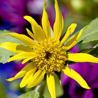 Serendipitous Sunflower
