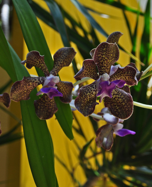 Orchid (2)