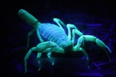 animal, scorpion, invertebrate,