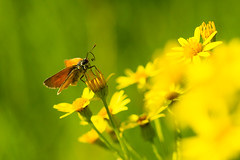 Small Skipper (Thymelicus sylvestris) on Jacobaea vulgaris