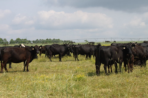 Cattle on the Kilpatrick farm. USDA photo.