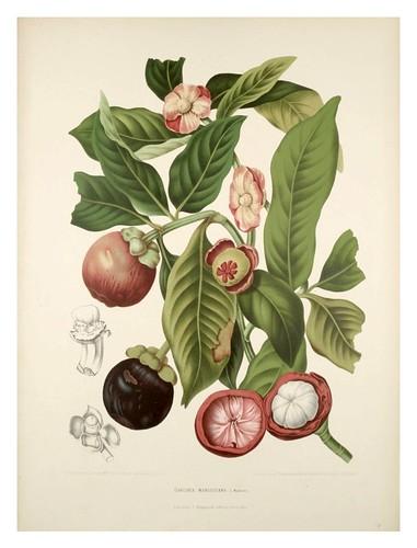 010-Mangostino o Jobo de la India-Fleurs, fruits et feuillages choisis de l'ille de Java-1880- Berthe Hoola van Nooten