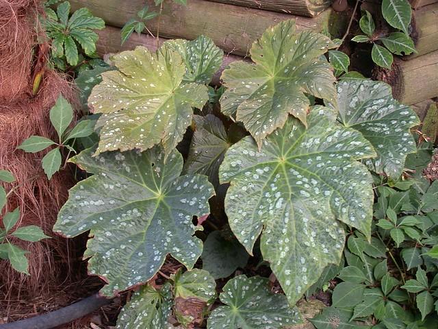 Begonia U475