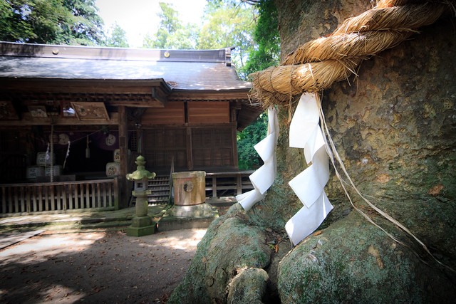 #46 The Sacred Zelkova of Nakamura Hachiman Shrine