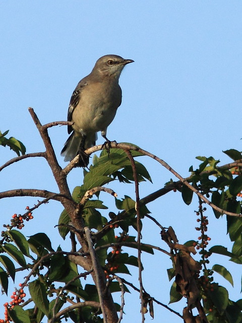 Northern Mockingbird in Trema 20120808