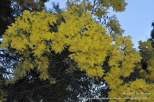 226-366 Wattle tree blossom