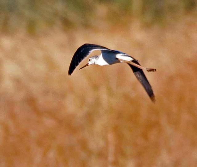 Black Winged Stilt flying