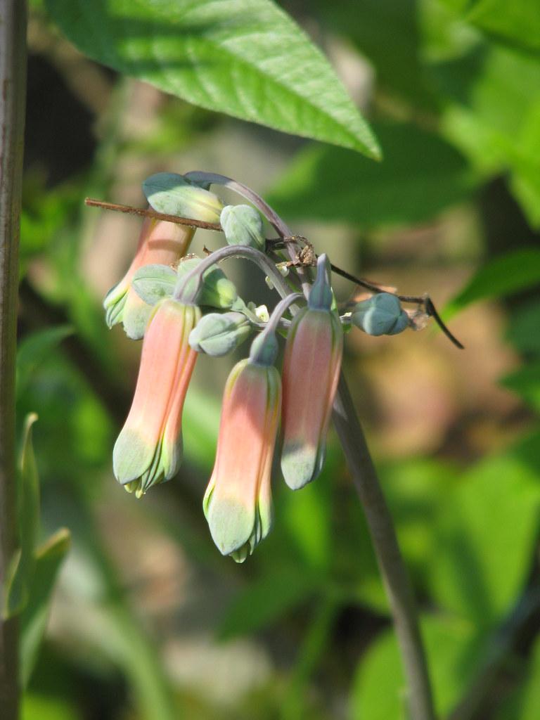 Bomarea boliviensis or Alstroemeria isabellana