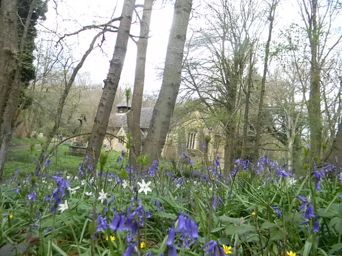 Bluebells near the church in the woods