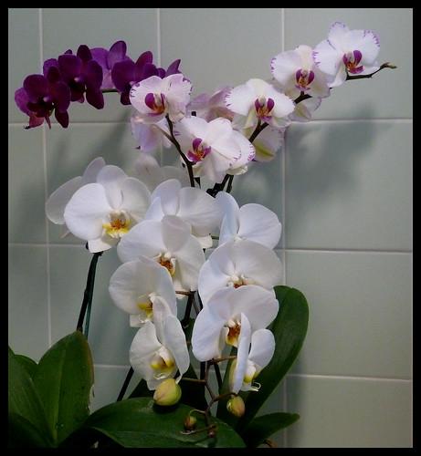 Three Orchids