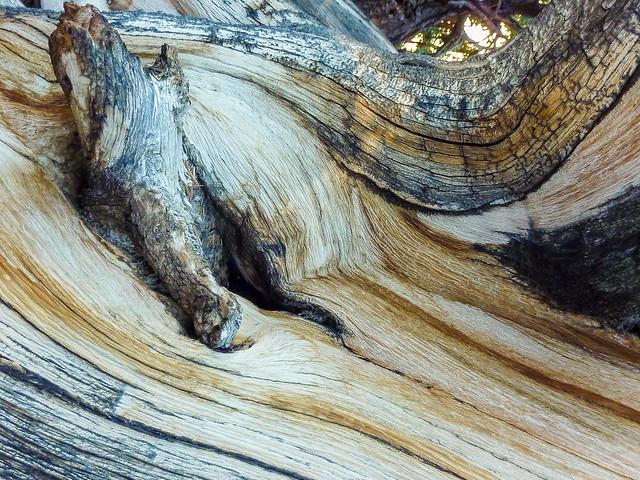Detalle del tronco de un pino longevo, Montañas Blancas, California.