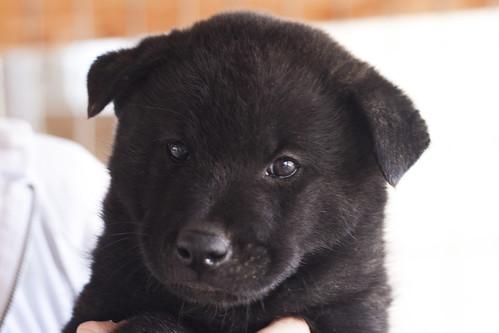 Ayu-Litter1-Day47-Puppy5-Male(Goro)-a