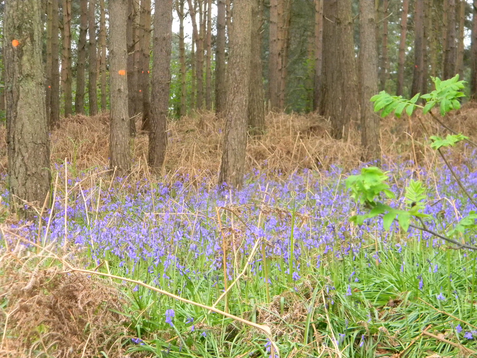 bluebells Guildford to Westhumble