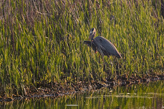 Heron with Fish big crop 8022_.jpg by Mully410 * Images