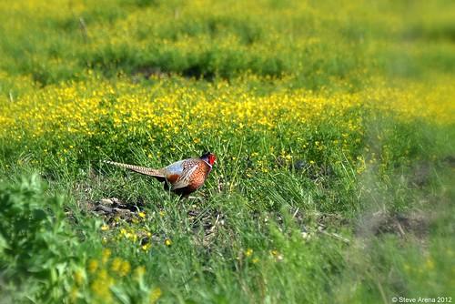game bird pheasant hunting cock gamebird ringneckpheasant rnph
