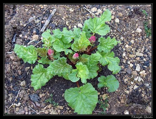 Rhubarbe (Rheum sp.)
