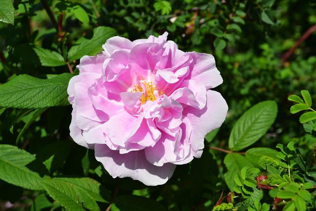 Rosa 'Thérèse Buguet'. Photo by Jean-Marc Grambert.