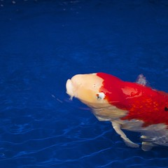grand champion euregio koi show 2012