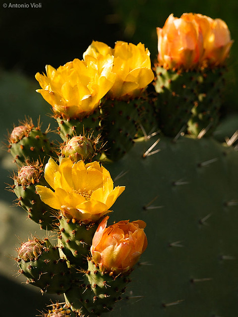Prickly pears in bloom.