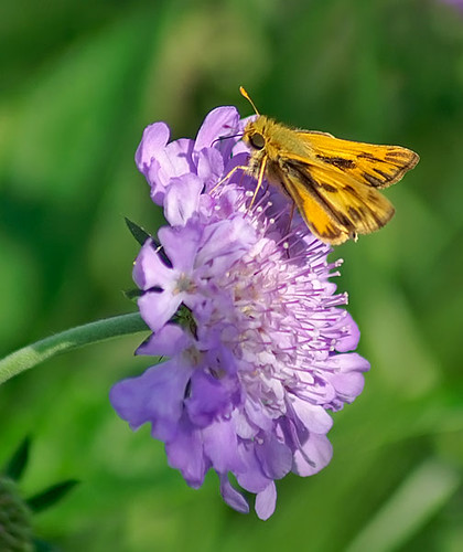 justin nature butterfly insect texas wildlife skipper lepidoptera