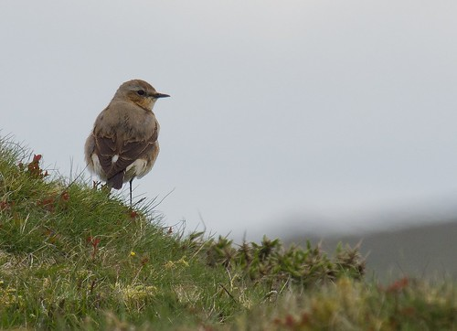 Female Wheatear. by Pixellie
