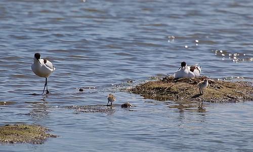 Avocet Recurvirostra avosetta Oare Marshes KWT by Kinzler Pegwell