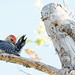 Red Bellied Woodpecker 3