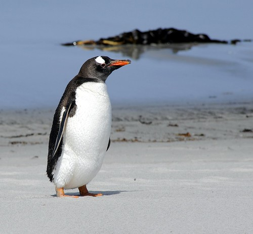 Gentoo Penguin by RV Bob