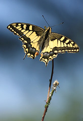 Mariposa - Papilio machaon