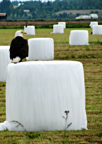 06-26-12 A Convocation of Eagles by roswellsgirl
