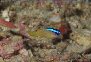 藍帶刻齒雀鯛。(圖片來源:墾丁國家公園管理處)