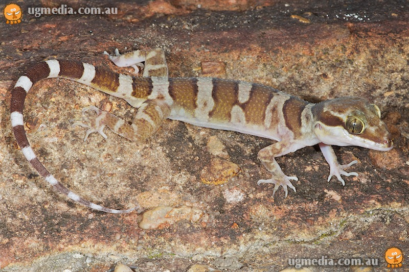 Coastal ring-tailed gecko (Cyrtodactylus tuberculatus)