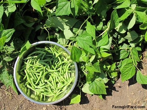 (8) Freshly picked Slenderette green beans - FarmgirlFare.com