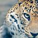 Leopard by dreamer@desh