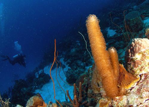 sea coral underwater caribbean bonaire ©allrightsreserved sunkentreasureaward madaleundewaterimages
