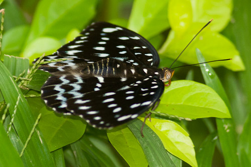 black and spotty butterfly