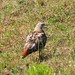 Red Tail juvenile Hawk