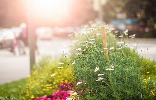 street autumn light sunset people sun plant flower nature photoshop canon project eos rebel austria europe dof sundown blossom bokeh meadow sunny days ornament adobe bloom 365 dslr decorate t3i 600d itslegitx
